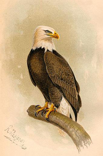 Bald Eagle by Dr. Robert Ridgway