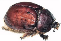 Cochineal Beetle from which Carmine is obtained