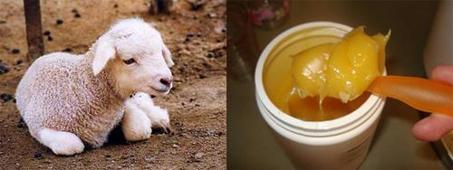 Sheep - Wool Grease